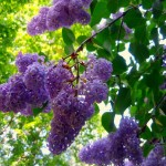 Beautiful lilac flowers symbol of sophistication and romance