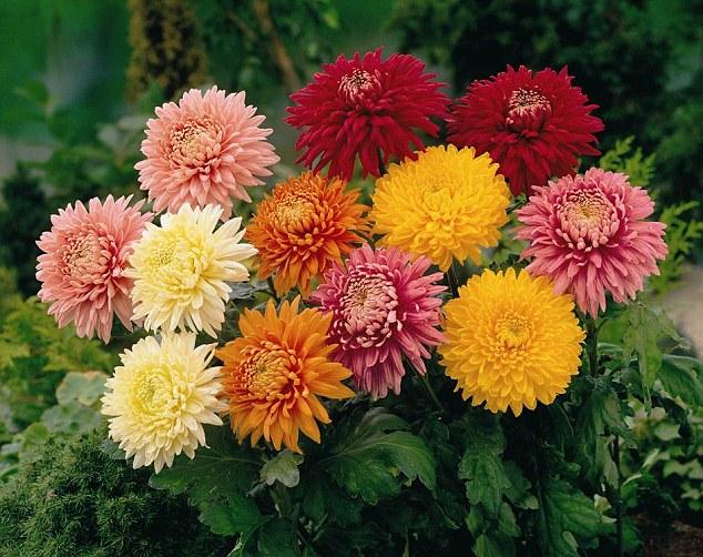 smells-chrysanthemums.jpg (634×502)